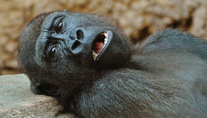 Mơ thấy khỉ đột đánh lô con gì?