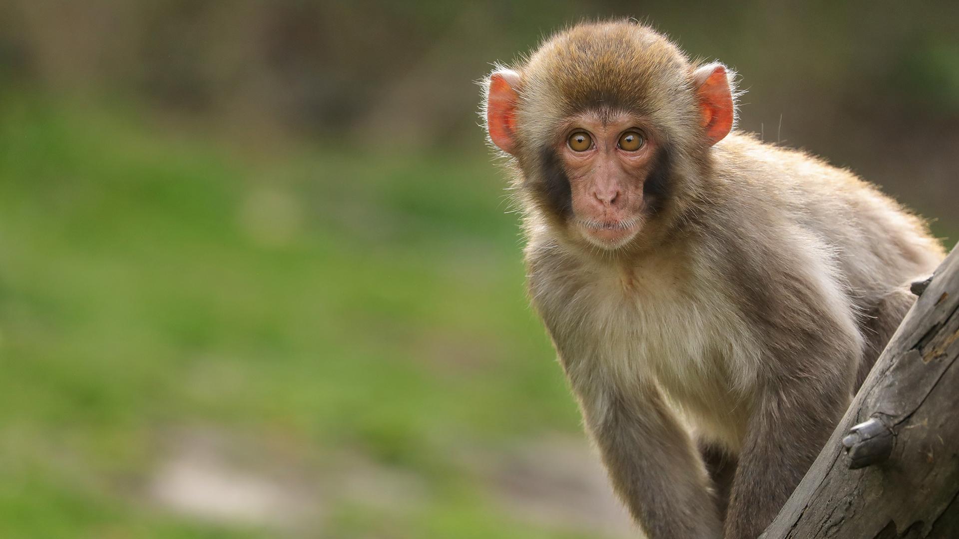 Mơ thấy con khỉ đánh lô đề bao nhiêu?