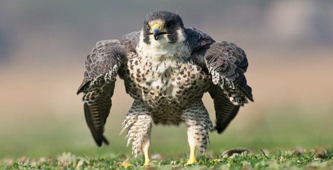 Mơ thấy một con chim ưng là điềm báo gì? may hay xui?